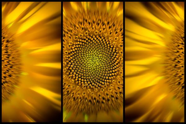 sunflower, flower, field, macro, blossom, pollen, triptych,