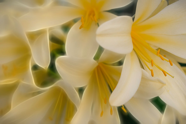 lily flowers, orchid flowers, yellow blossoms, macro art photographs, pollen, petals, botanical art,