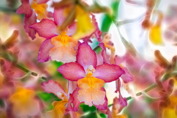 orchids flowers, blossoms and buds of flowers, botanical, florals, art photographs of flowers, pink and red and yellow orchids,