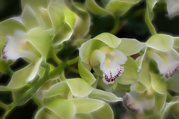 macro flower of orchids, green and yellow orchids, stems of flowers, art photographs of flowers, fine art photography,