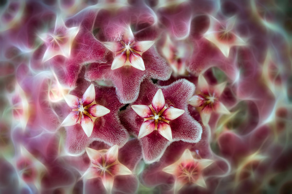 orchids flowers, waxy and tiny stars, round and red flowers, burgundy art photographs,