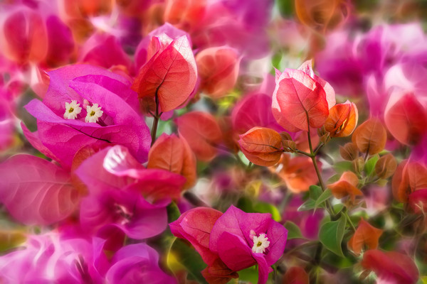 bougainvillea flower, leaves, colorful vines, red and orange bougainvillea flowers, pink and green orchids,