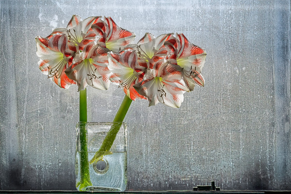 amaryllis flowers, bulb, stem, window art, dirt, petals, art, full blooms of flowers, photographs of art,