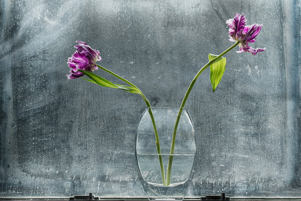 water vase, flower vase, flower stems in window, window art of parrot tulips, purple tulip flowers, art photographs of tulips,