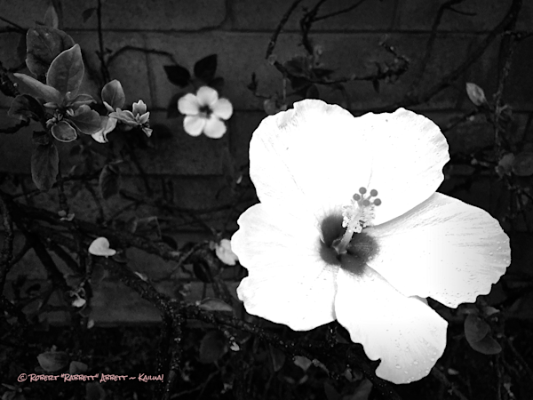 Hibiscus in Black and White! There is something special these days when one sees a Black and White photo. Grab your Copy at Robert Abbett Art!