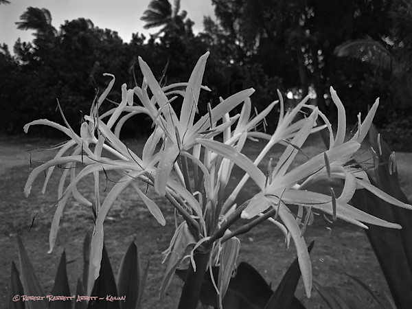 White Lilies - Black and White, Kailua Robert Abbett Art!