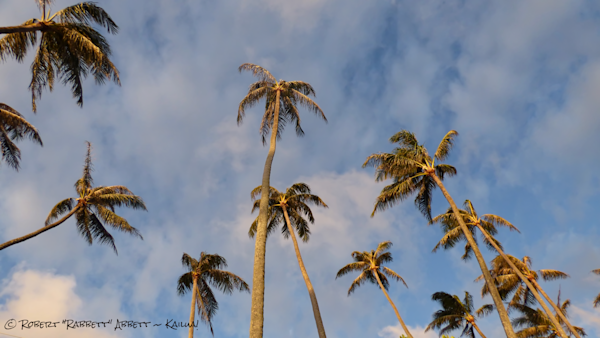 Legacy Palm Trees from the 50's, Very Tall Palms! Image is from Kalama Beach Park in Kailua!  Robert Abbett Art!
