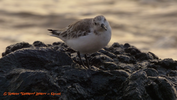 Maui Hawaii. Nature and beach photography. Water. Plover.