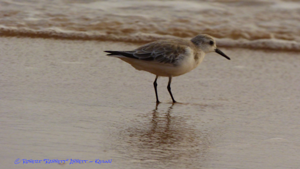 "This Maui Plover ""Owns the Beach"""