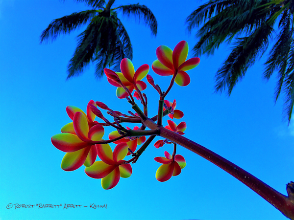 Plumeria and Palms above