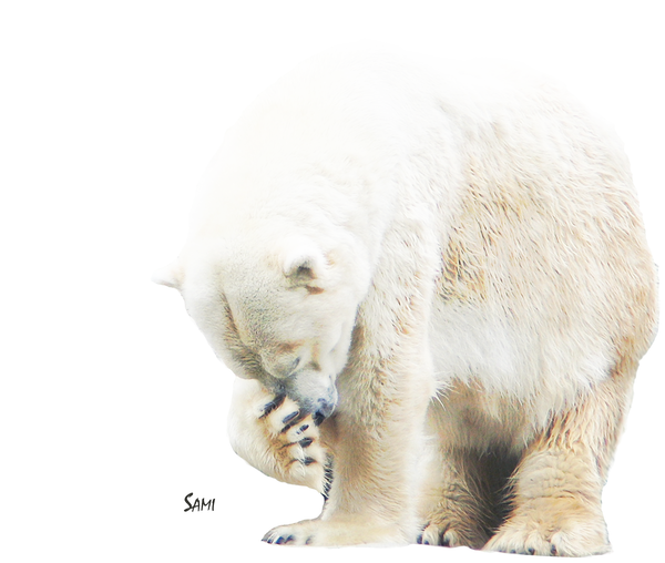 Shy Polar Bear Art for Sale