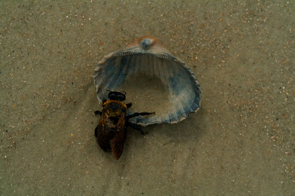 Bumble Bee in Seashell