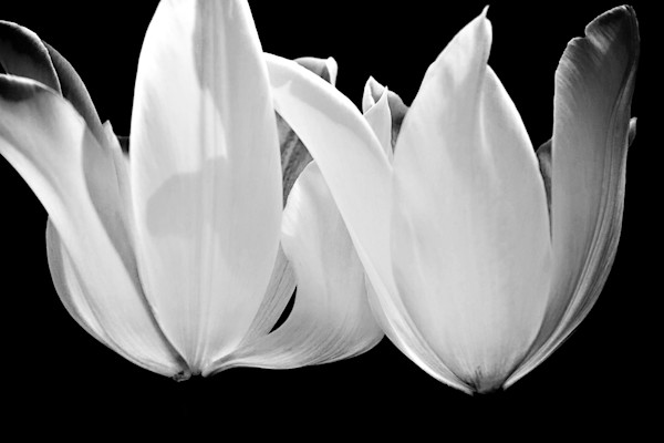 Angel Wings Tulips