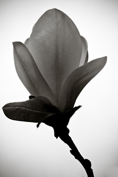 The Sentinel Magnolia