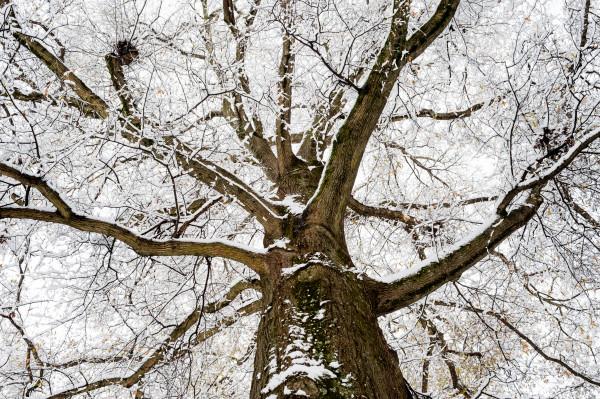 Looking Upward: East Campus Tree