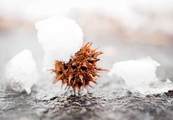 Snow on Sweet Gum Ball on East Campus 2