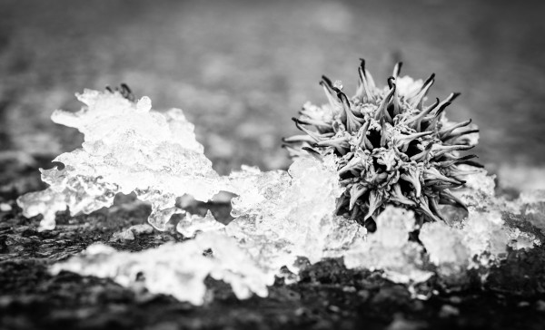Snow on Sweet Gum Ball on East Campus Black and White