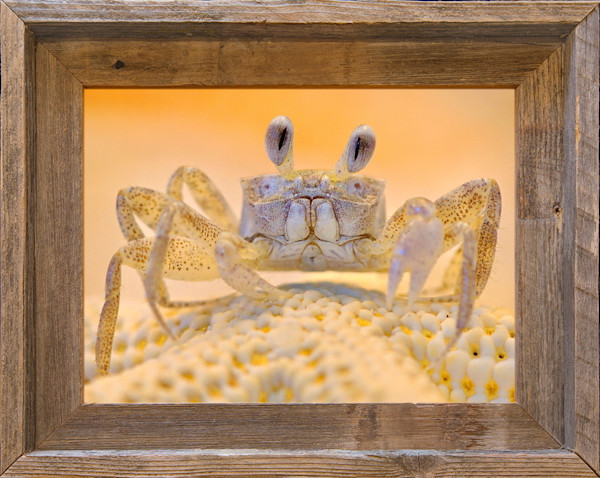"Sonny the Ghost Crab (9"" x 12"" Framed Canvas Board)"