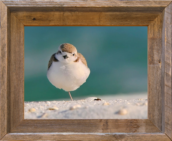 "Peg Leg Plover (14"" x 11"" Framed Canvas Board)"