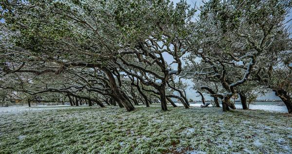 Snowswept Oaks