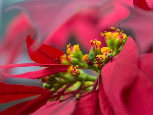 poinsettia abstract notecards