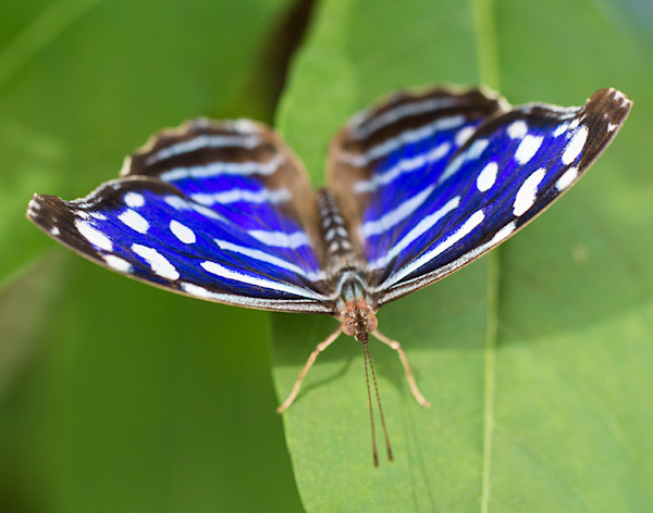 Royal Blue Butterfly