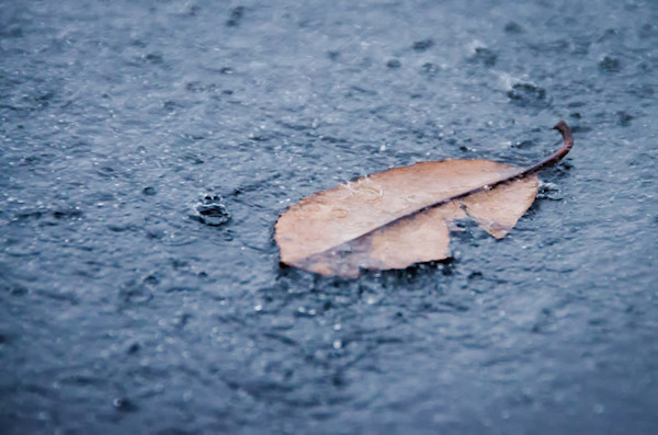 Fallen Leaf in The Rain Color Limited Edition Signed Fine Art Nature Photograph by Melissa Fague