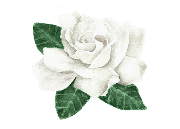 Gardenia Original Watercolor Painting