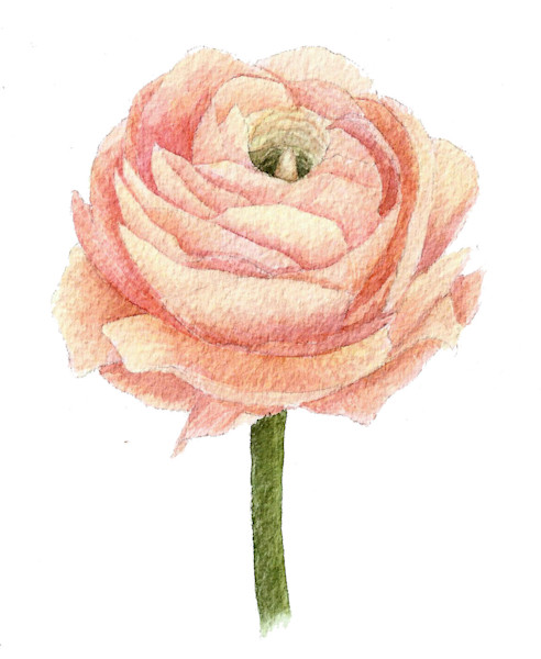 Ranunculus Original Watercolor Painting