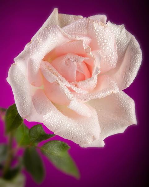 Pink Rose and Rain Drops 0628.80