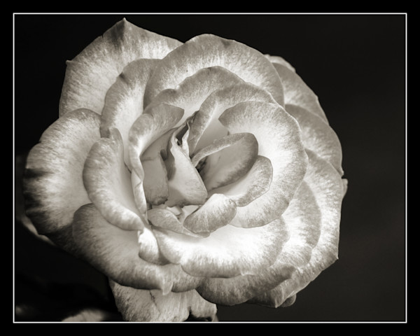 Dark Black and White Rose 8017.01