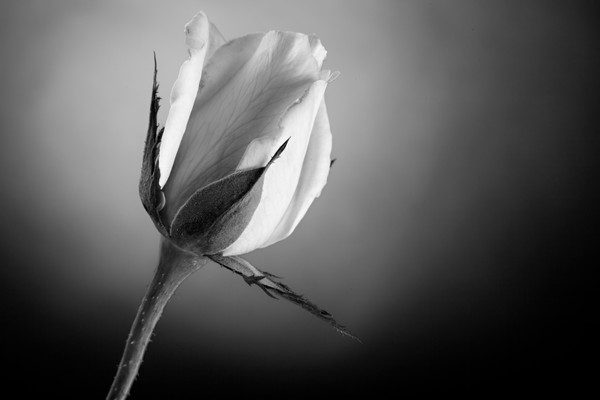 Rose Flower Black & White Art Photograph Print Canvas Metal