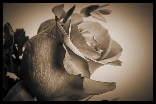 Sepia Tone Rose Bud 8040.01