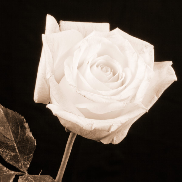 Monochrome Rose 8017.70
