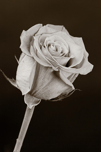 Sharp Rose Bud Black and White 9943.70