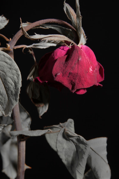 Faded Love Wilted Rose on Black Wall Art 1
