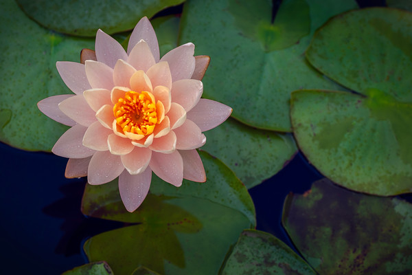 lotus flowers, art photographs of lily pads, botanical art photographs, flower photography,