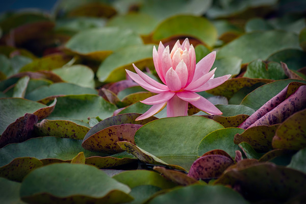 lily pad gardens, art photographs of lotus flowers, botanical garden photography,  macro photography of flowers,