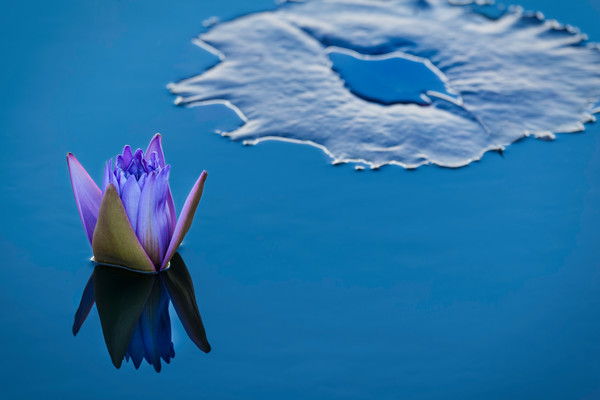 photographs of lily pads,  lotus flower photography, art photographs of ponds, flower buds,