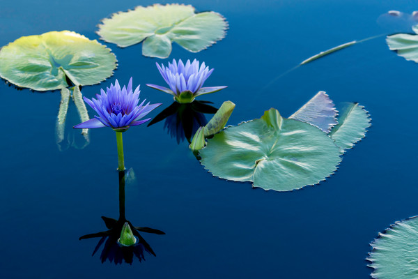 Lily pad photography, botanical gardens, lily pad gardens, art photographs of lily pads,
