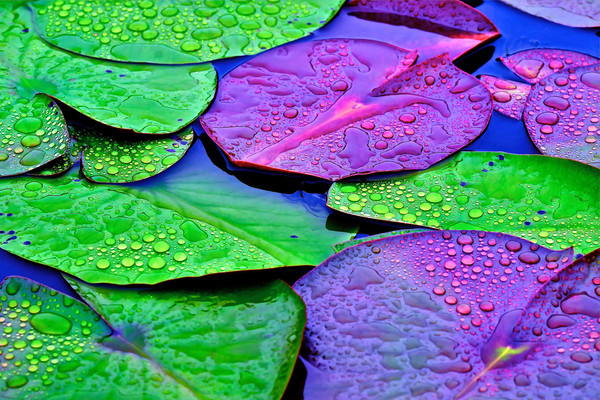 lily pads with dew, art photographs of lily pads, lotus flowers with lily pads, botanical lily pads with lotus blossoms,