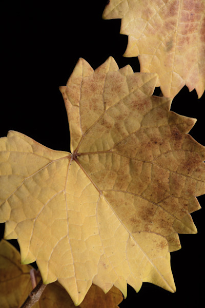 Fall leaves in close up micro art photographs for canvas, metal, or print