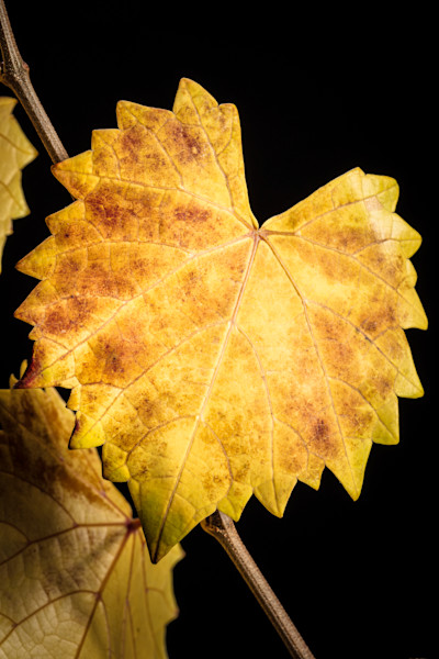Fall leaves in close up micro art photographs for canvas, metal, or ...