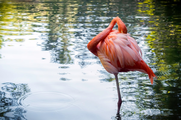 Flirtatious  |  Chilean Flamingo