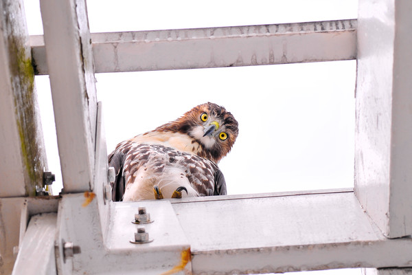 images of hawk and falcons, art photographs of red tailed hawks, photographs of bird of prey,