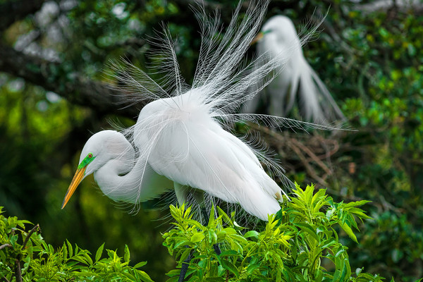 photography of the Florida Everglades, Art photographs of male Great Egrets, photography of birds and wildlife,