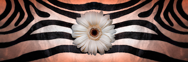 stripes and lines, images of zebra skins, photographs of flowers and Gerber Daisies,