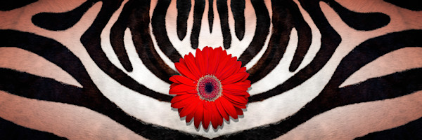 animal kingdom, images of zebra skins and stripes, art photographs of Gerber daisy flowers,