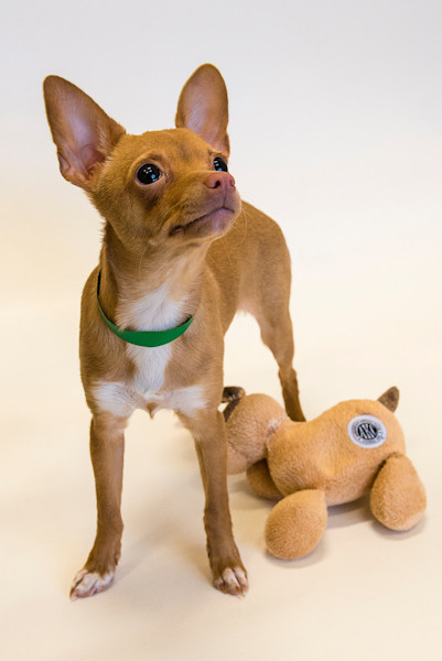 Chihuahua_w-toy_161563annd8rf_onteeo
