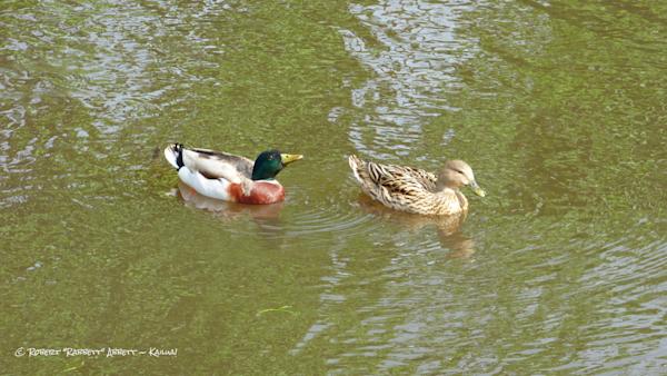 Happy Ducks in the Marsh